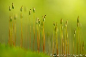 moss-spores-7109686