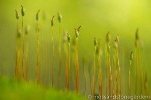 moss-spores-300x199-6750957