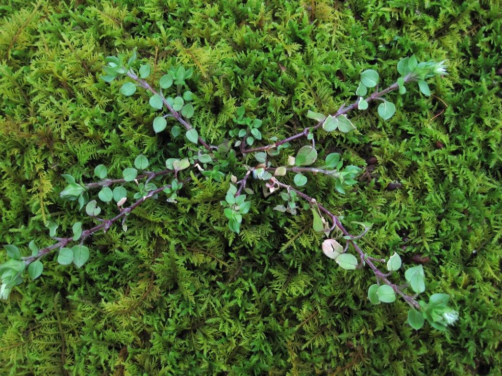 moss-rocks-chickweed-1024x767-6522053