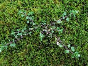 moss-rocks-chickweed-300x224-9102529