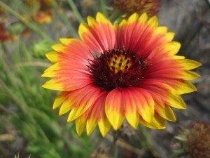 blanket-flower-300x225-8514265